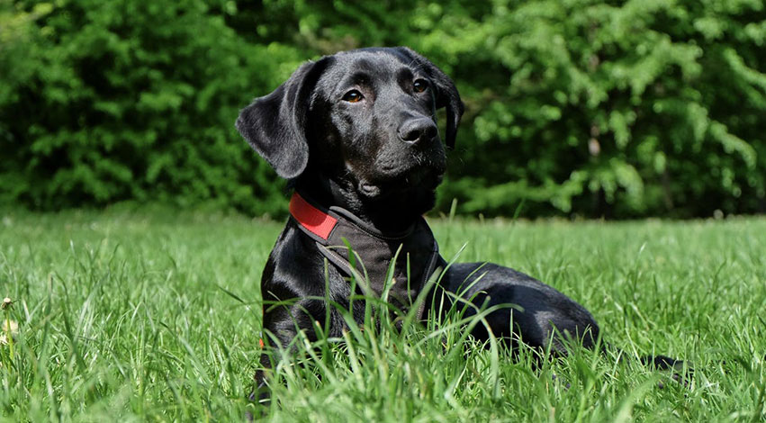 Labrador Retriever - 5 military and police dog breeds that you should know