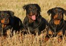 5 military and police dog breeds that you should know